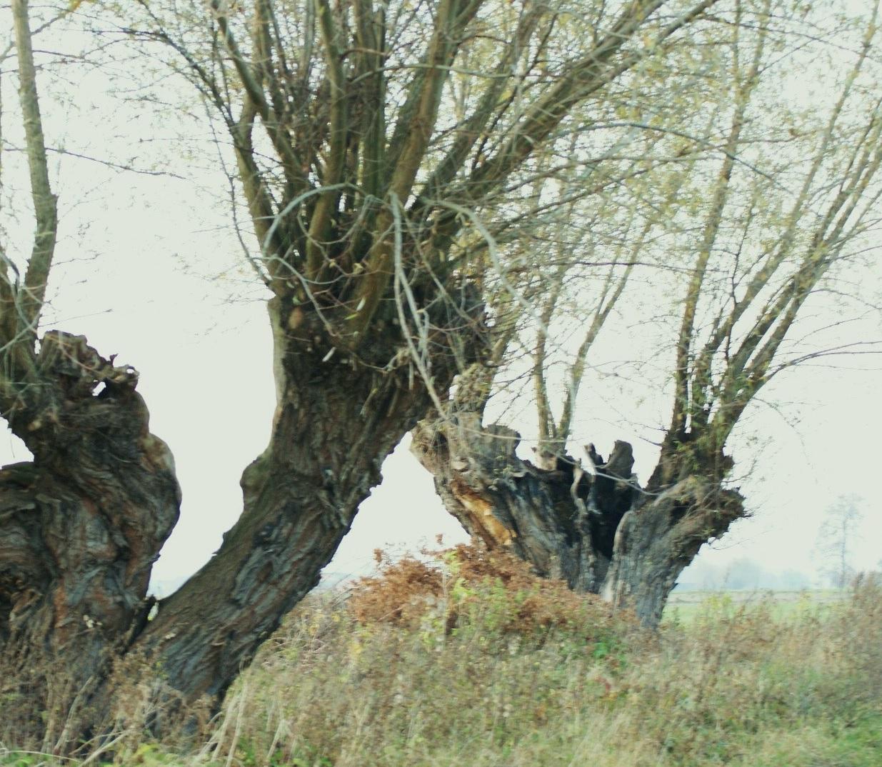 OSP Mystków - drzewo